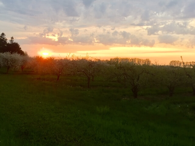 The sun sets over Door County cherry blossoms.