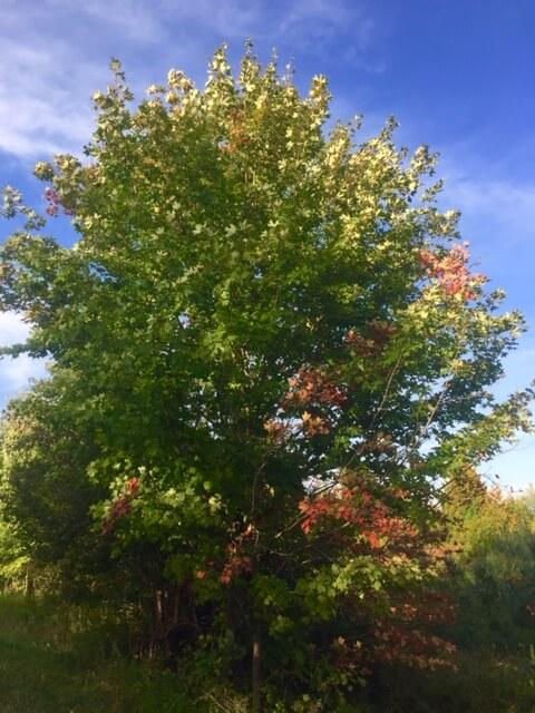 Evidence of the coming fall season slowly creeps onto Door County trees.